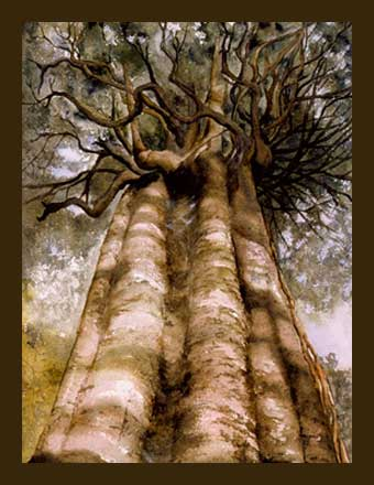 Rata Vine Tree Watercolour by Jacquelyn E Lane
