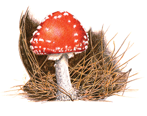 Amanita Muscaria-Fairy Toadstool by Jacquelyn E Lane