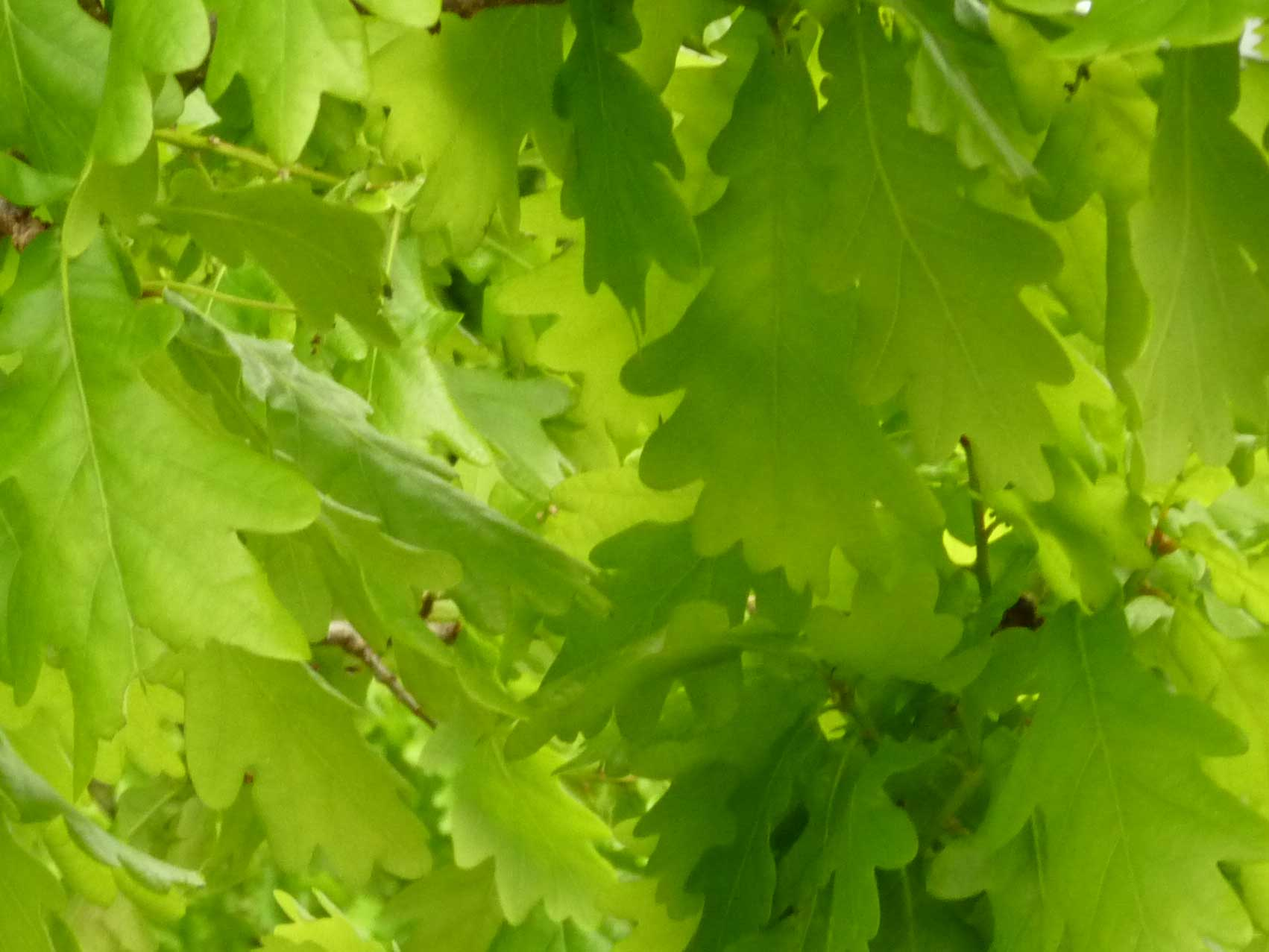 Green Spring Oak Leaves
