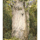 Kauri – Greeting Card