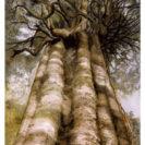 Rata Vine Tree – Page Print