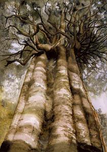 Rata Vine Tree A3
