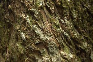 Ancient Cedar Bark 1by Jacquelyn E Lane